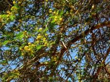 Acacia xanthophloea (Vachellia) IMG_1121-002