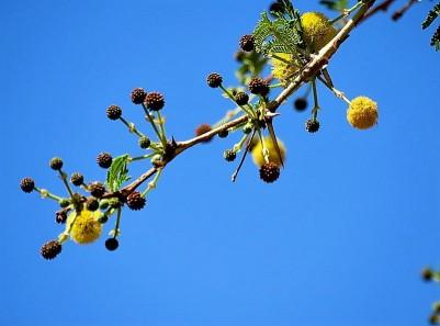 Acacia xanthophloea (Vachellia) IMG_1122-001 (2)