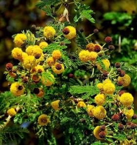 Acacia xanthophloea (Vachellia) IMG_1123-001 (2)