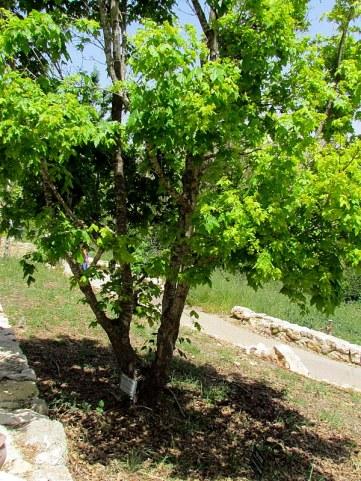Acer campestre IMG_8067-001