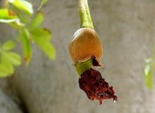 Adansonia digitata_Baobab_IMG_1157-001 (2)