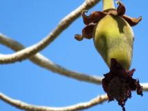 Adansonia digitata_Baobab_IMG_1198 (2)