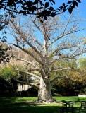 Adansonia digitata_Baobab_IMG_1461-003