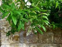 Aloysia triphylla_Verbena Limon_IMG_1386-001 (2)