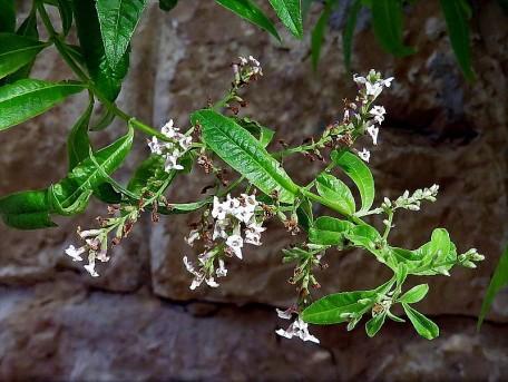 Aloysia triphylla_Verbena Limon_IMG_1391-001 (2)
