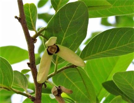 Annona squamosa_IMG_1874-1 (2)