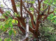 Arbutus andrachne IMG_4919-001 (2)