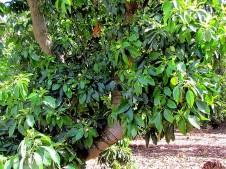 Avocado_Persea americana_IMG_1712-002 (2)