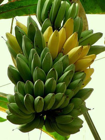 Banan_P4150132_a