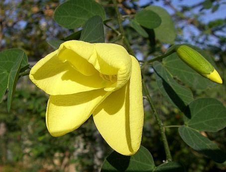 Bauhinia tomentosa CIMG1812_a