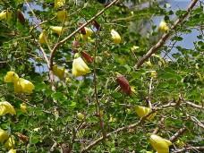 Bauhinia tomentosa IMG_2364 (3)