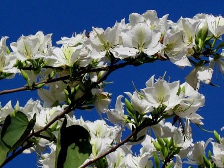 Bauhinia variegata Alba_IMG_6278-001