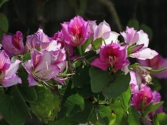 Bauhinia variegata_rz_IMG_2881 (2)
