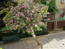 Bauhinia variegata_rz_IMG_3887-001 (2)
