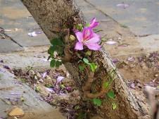 Bauhinia variegata_rz_IMG_3888 (3)