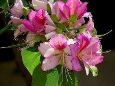 Bauhinia variegata_rz_IMG_3894-004 (2)-a
