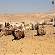 Beduiny_Verbliud_IMG_1967 (2)