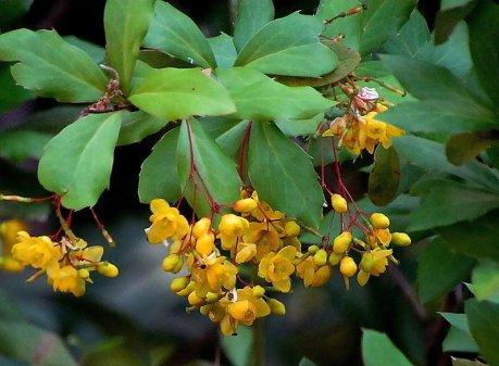 Berberis vulgaris IMG_4619-002-a