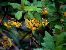 Berberis vulgaris IMG_4619 (3)-b
