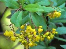 Berberis vulgaris IMG_4621 (4)-a