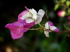 Bougainvillea spectabilis_IMG_5151-001 (2)