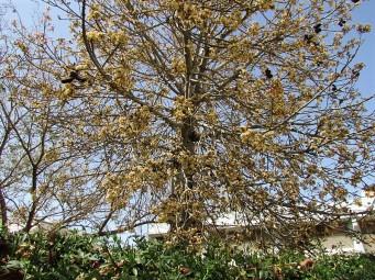 Brachychiton australis_IMG_0666 (2)