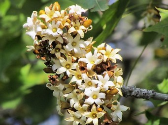 Brachychiton australis_IMG_6317 (2)
