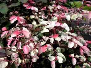 Breynia disticha Roseopicta_CIMG2352-001