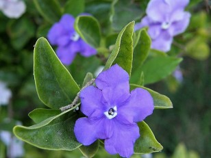 Brunfelsia grandiflora _sir_P7180029_b (2)