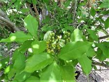 Bunchosia argentea_Peanut Butter IMG_7223 (3)