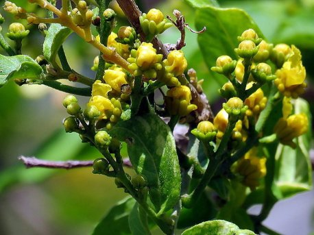 Bunchosia argentea_Peanut Butter IMG_7238-001-a