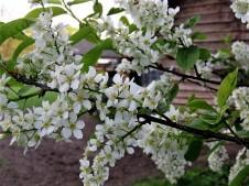Cheremuha_ob_Prunus padus_IMG_3517 (2)