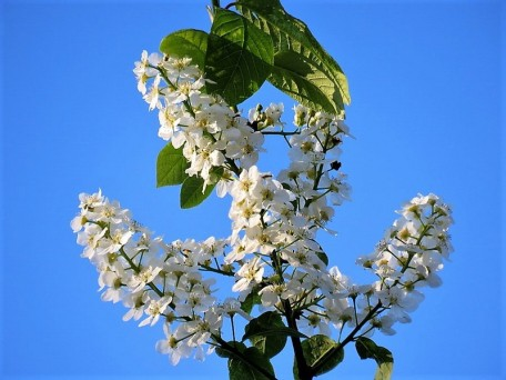 Cheremuha_ob_Prunus padus_IMG_3543 (2)