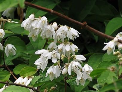 Deutzia gracilis IMG_5099 (3)