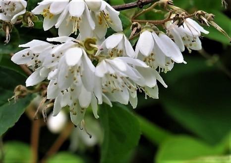 Deutzia gracilis IMG_5100 (3)-a