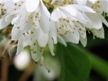 Deutzia gracilis IMG_5101 (2)
