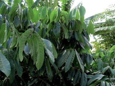Dimocarpus longan_IMG_8101 (3)