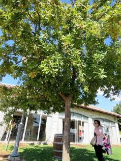 Dub_Quercus robur L. IMG_8970 (2)