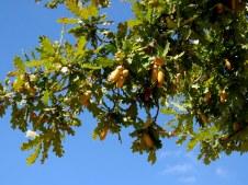Dub_Quercus robur L. IMG_8973
