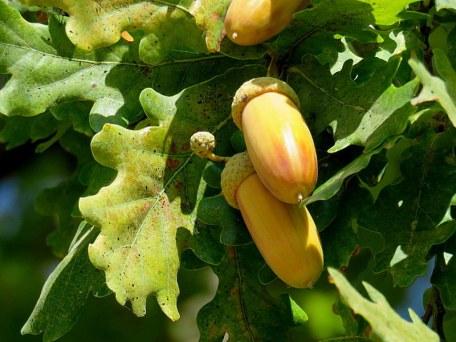 Dub_Quercus robur L. IMG_8975-001