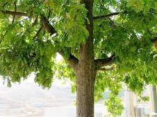 Dub_Quercus robur L. IMG_9141 (2)