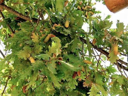 Dub_Quercus robur L. IMG_9142 (2)
