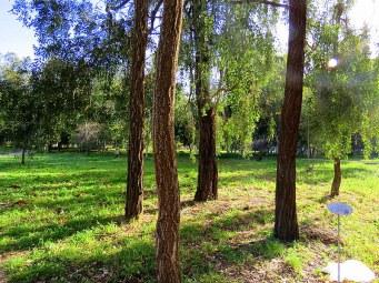 Eucalyptus melanophloia IMG_2631-001