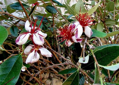 Feijoa_ Acca sellowiana_IMG_5952