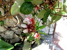 Feijoa_ Acca sellowiana_IMG_5954