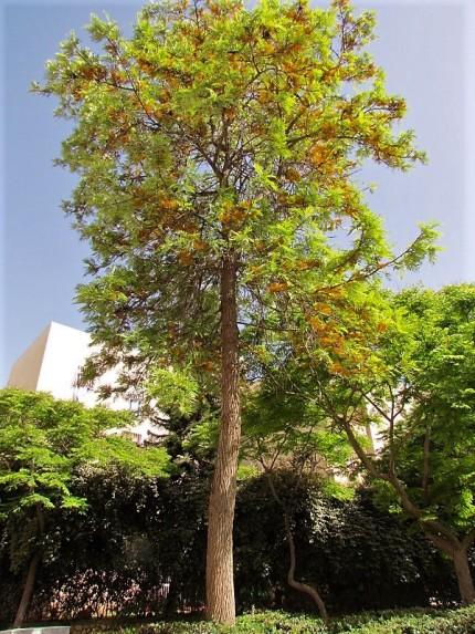 Grevillea robusta_IMG_0750 (2)