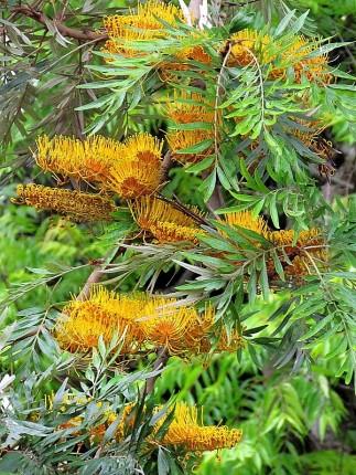 Grevillea robusta_IMG_2559-001 (2)
