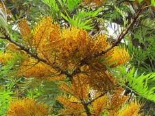 Grevillea robusta_IMG_2568-002 (2)