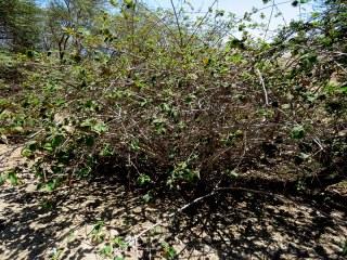 Grewia villosa IMG_1447-001