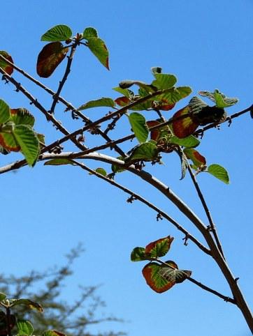 Grewia villosa IMG_1450-001